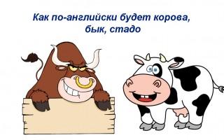 Как по-английски будет корова, бык, стадо — перевод, транскрипция, примеры