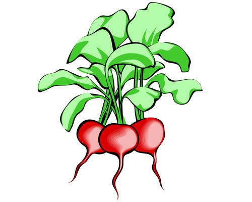 Редиска по-английски - radishes